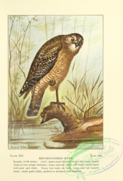 raptors-00112 - 014-Red-shouldered Hawk
