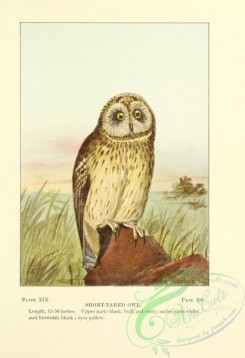 raptors-00117 - 019-Short-eared Owl
