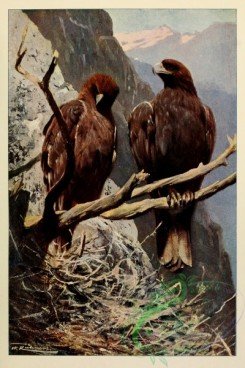 raptors-00149 - Ring Tailed Eagle, aquila fulva