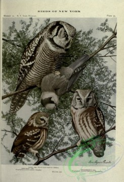 raptors-00154 - Saw-whet Owl, Hawk Owl, Richardson Owl