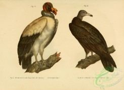 raptors-00181 - King Vulture, Turkey Vulture