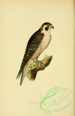 raptors-00191 - Barbary Falcon