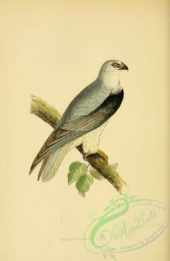 raptors-00193 - Black-winged Kite