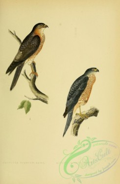 raptors-00196 - Calcutta Sparrow-Hawk, Accipiter Sphenurus