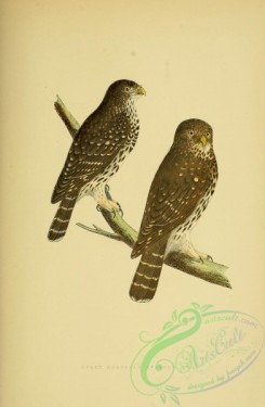 raptors-00208 - Least European Sparrow Owl