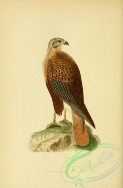 raptors-00213 - Long-legged Buzzard