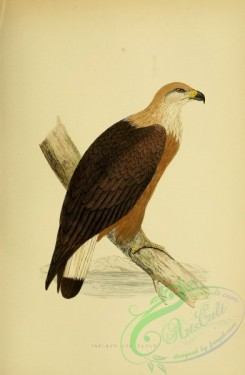 raptors-00217 - Pallas's Sea Eagle