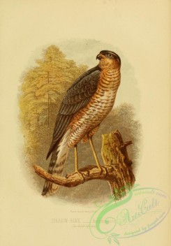 raptors-00225 - Sparrow-hawk, accipiter nisus