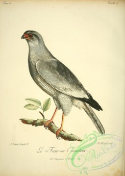 raptors-00260 - Dark chanting goshawk