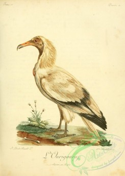 raptors-00261 - Egyptian vulture