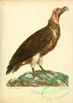 raptors-00271 - Lappet-faced vulture