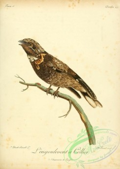 raptors-00282 - Red-necked nightjar