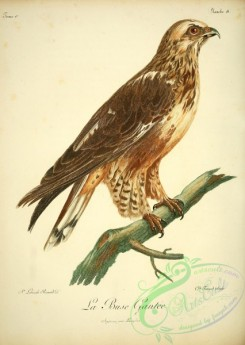 raptors-00283 - Rough-legged buzzard or hawk
