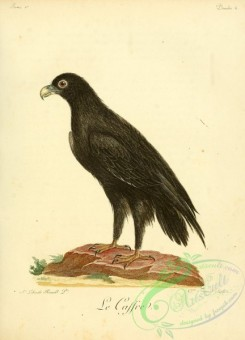 raptors-00287 - Verreaux's eagle