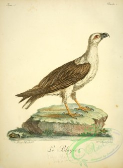 raptors-00288 - White-bellied sea eagle