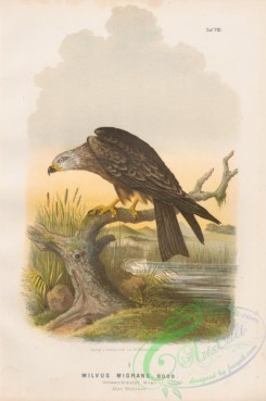 raptors-00310 - 008-Black Kite, milvus migrans