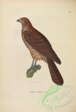 raptors-00489 - Red Goshawk