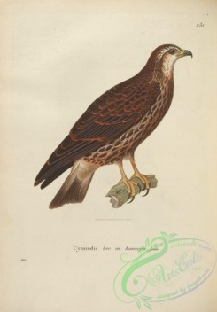 raptors-00493 - Slender-billed Kite, 2