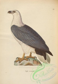 raptors-00500 - White-bellied Fish-Eagle