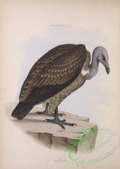 raptors-00516 - Slender-Billed Vulture