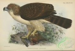 raptors-00584 - Great Philippine Eagle, pithecophaga jefferyi