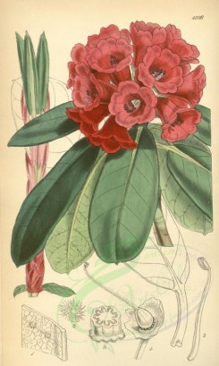 red_flowers-00091 - 4926-rhododendron hookeri, Dr Hooker's Rhododendron [2073x3458]