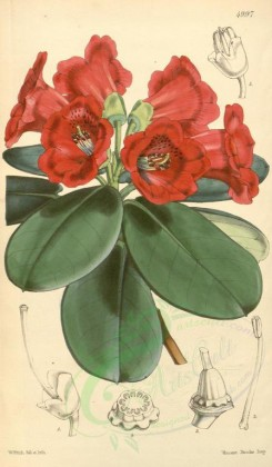red_flowers-00092 - 4997-rhododendron thomsoni, Dr Thomson's Rhododendron [2034x3482]