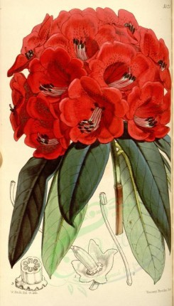 red_flowers-00095 - 5125-rhododendron shepherdii, Mr Shepherd's Rhododendron [1996x3499]