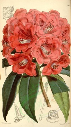 red_flowers-00096 - 5129-rhododendron kendrickii latifolium, Dr Kendrick's Rhododendron broad-leaved variety [1974x3499]