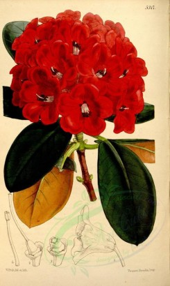 red_flowers-00100 - 5317-rhododendron fulgens, Brilliant Rhododendron [2123x3548]