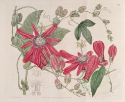 red_flowers-00315 - 285-passiflora racemosa, Bunch-flowered Passionflower [4260x3476]