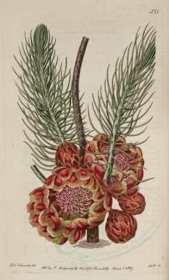 red_flowers-00320 - 351-protea acerosa, Pine-leaved Protea [2924x4850]