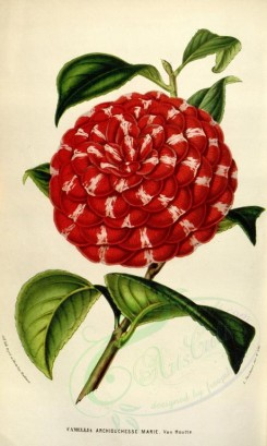 red_flowers-00331 - camellia archiduchesse marie [2186x3648]
