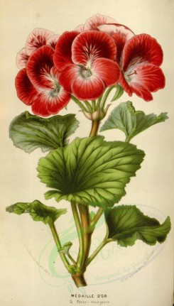red_flowers-00342 - pelargonium medaille d'or [2095x3677]