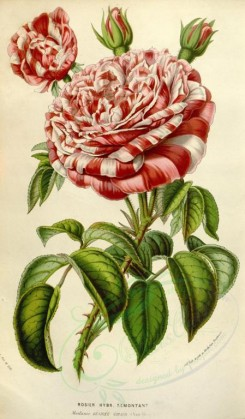 red_flowers-00349 - rosier remontant [2207x3769]