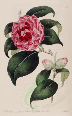 red_flowers-00361 - 633-camellia japonica involuta, Lady Long's Camellia [2590x4162]