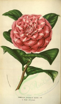 red_flowers-00372 - camellia princesse marie [2087x3538]