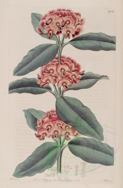 red_flowers-00399 - 913-oxylobium retusum, Netted-leaved Oxylobium [2821x4314]