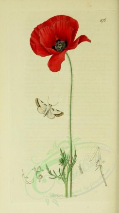 red_flowers-00729 - Common Red Poppy - papaver rhaeas [1984x3525]