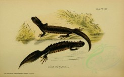 reptiles_and_amphibias-00252 - Great Warty Newt [3453x2142]