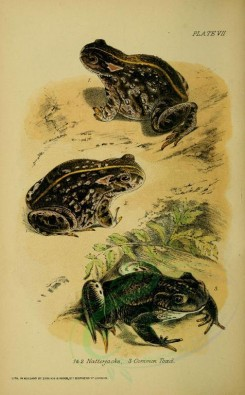 reptiles_and_amphibias-00255 - Natterjack, Common Toad [2142x3453]