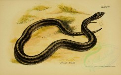 reptiles_and_amphibias-00257 - Smooth Snake [3453x2142]