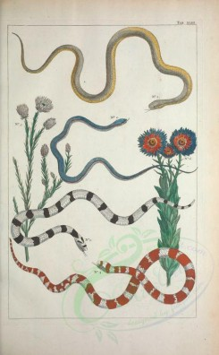 reptiles_and_amphibias-00424 - 043-serpens, auguiculus, anguis, chrysocome [3657x5904]