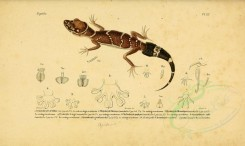 reptiles_and_amphibias-00820 - Gecko, 1 [3513x2098]