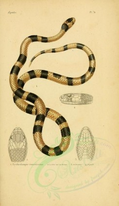 reptiles_and_amphibias-00884 - Snake, 31 [2052x3548]