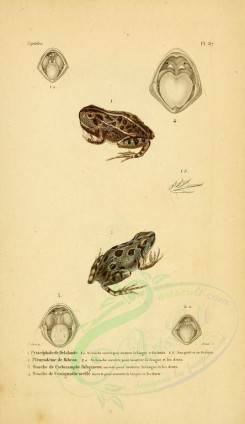 reptiles_and_amphibias-00886 - Toad, Frog, 2 [2052x3548]
