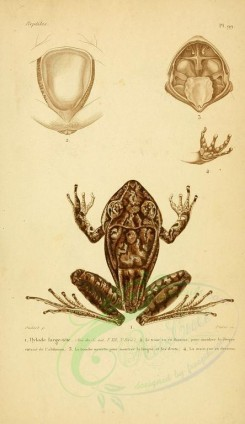 reptiles_and_amphibias-00888 - Toad, Frog, 4 [2052x3548]