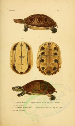 reptiles_and_amphibias-00903 - Turtle, 2 [2098x3513]