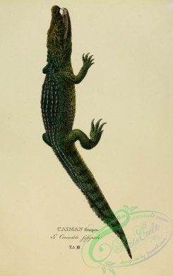 reptiles_and_amphibias-01860 - caiman fissipes