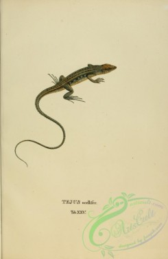 reptiles_and_amphibias-01884 - tejus ocellifer